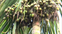 Betel Nut & Coconut stock footage
