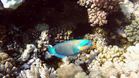 Daisy parrotfish (Chlorurus sordidus) in the Red S Footage