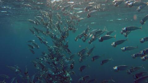 school of Indian mackerel feeding in Red Sea, Egyp Footage