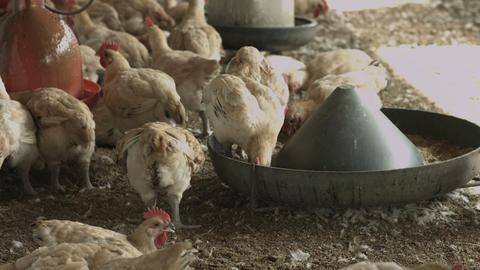 Chicken In The Farm 2