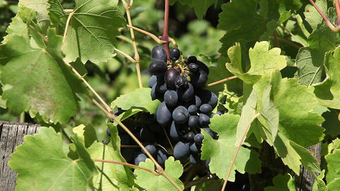 Vineyard Grapes stock footage