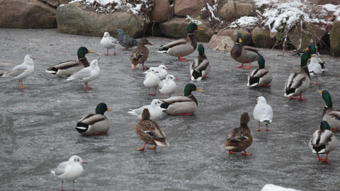 Seagulls and ducks, standing on ice, catch a forag Footage