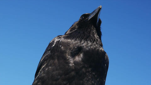 1080p, Brilliant closeup of a raven Footage