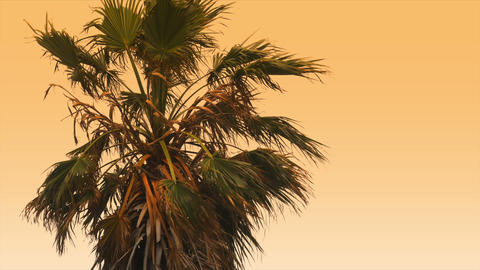 1080p, Beautiful morning sun with palm(s) in front Live Action