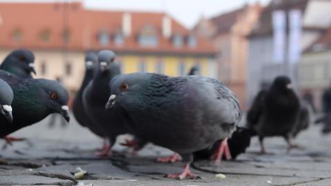 Birds Eating Bread Crumbs Footage