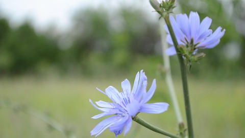 Blue Chicory Flower Footage