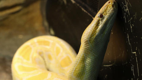 Big Burmese Python Footage