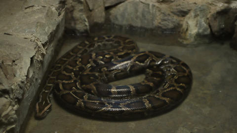 Boa Constrictor Snake Live Action