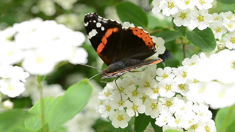 Butterfly Extract Pollen of Flowers Footage