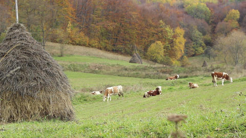 Cattle Ecological Grazing Footage