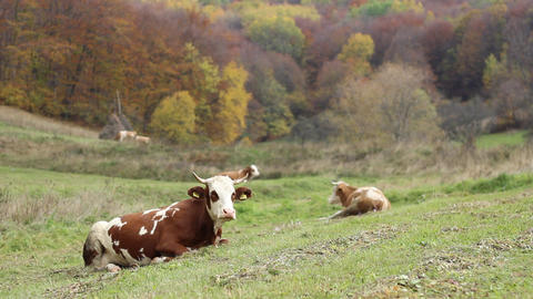 Cow Lying Down in Grass Live Action