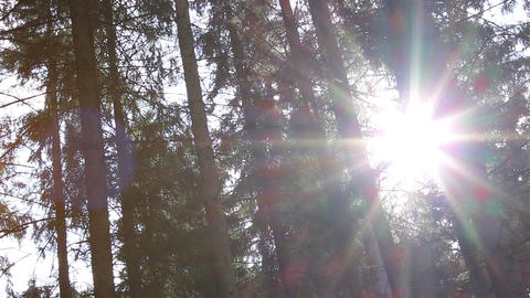 Dazzling Sunlight Through Pines Footage