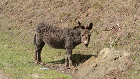 Donkey Looking to You Footage