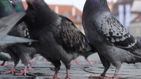 Feeding Pigeons Stir Footage