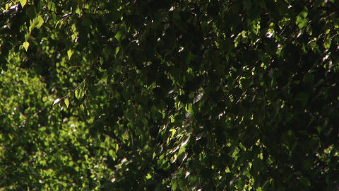 Flashes of Light on Windy Leaves Footage