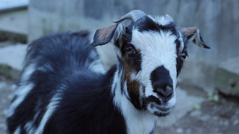 Goat Close Up stock footage