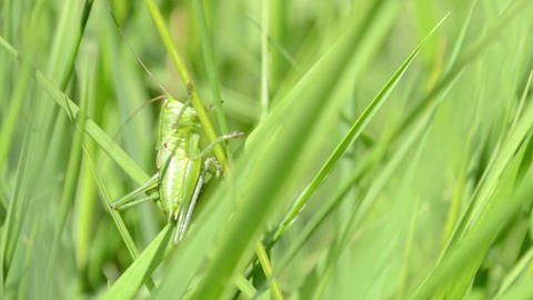 Green Grasshopper on Blade of Grass Footage
