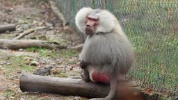 Grey Baboon Footage