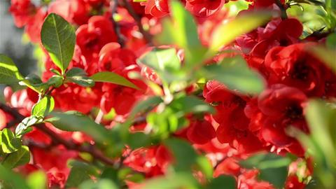 Japanese Quince Tree Close Up Footage