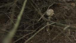 Parasol Mushroom Footage