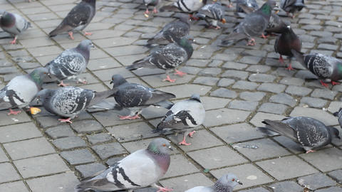Pigeons Feed with Bread Footage