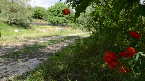 Poppies On Side of Country Road Footage