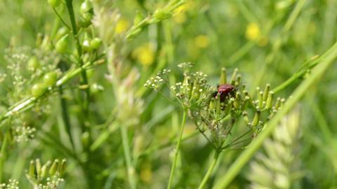 Red Bug Stays on Herbage Footage