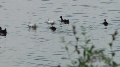 Six White and Black Ducks Floating Footage