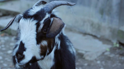 Staring Goat Footage