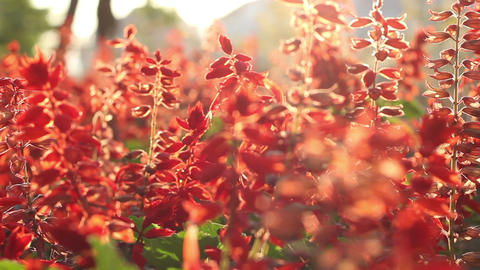 Sunny Red Flowers Footage
