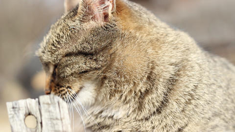 Tabby Cat stock footage