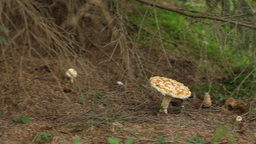 Toxic Wild Mushrooms stock footage