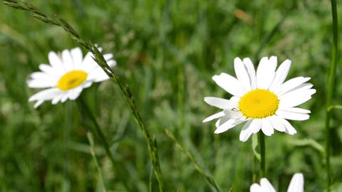 Two Daisies in Grass Field Footage