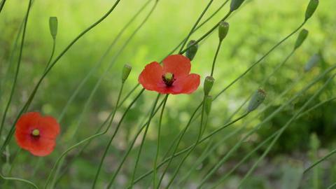 Two Poppy Flowers in Wind Footage