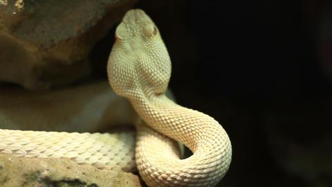 Venomous Pit Viper stock footage