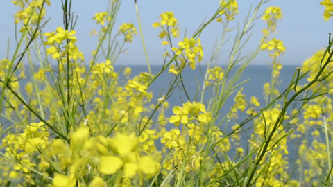 Yellow Small Flowers near Sea Footage