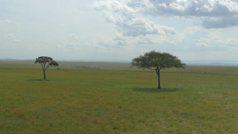 AERIAL: Two lonely acacia trees in African safari Footage