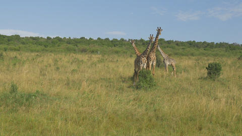 AERIAL: Giraffes in the middle of Kenyan savannah Footage