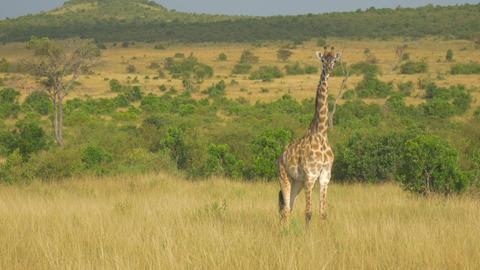 AERIAL: Flying around wild giraffe in Africa Footage