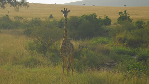 AERIAL: Flying around a young giraffe in African S Footage
