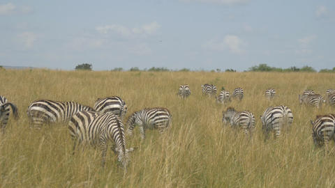 Large herd of zebras eating grass in African safar Footage