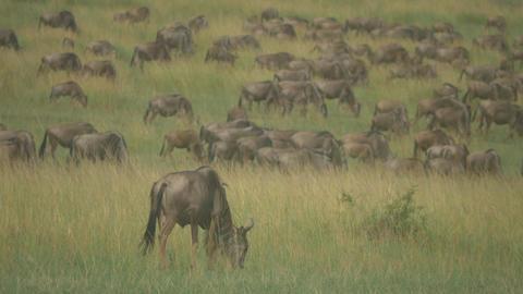 Big wildebeest migration in African Safari Footage