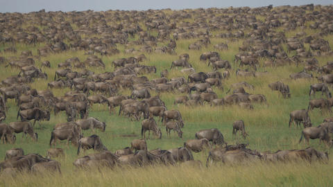 Thousands of wildebeest migrating in Africa Footage