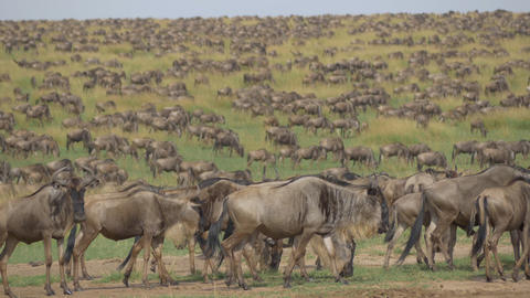 Large herds of wildebeest migration Footage