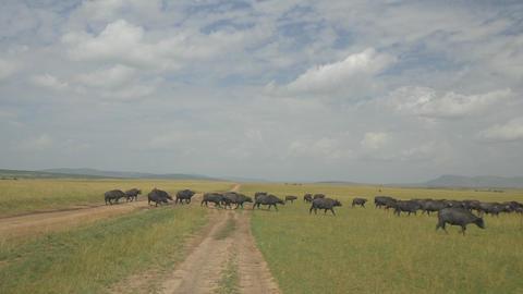 AERIAL: Buffalos in Africa Footage