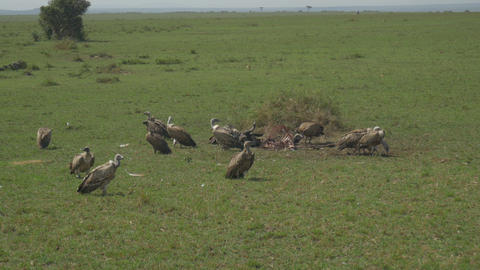 SLOW MOTION: Vultures eating the flesh of dead buf Footage