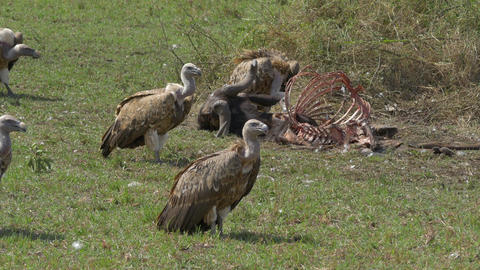 CLOSE UP: Vultures eating the flesh of buffalo car Footage