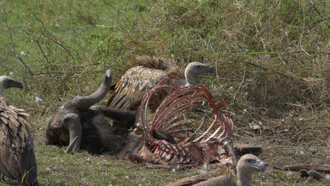 CLOSE UP: Vultures feeding on a buffalo carcass Footage