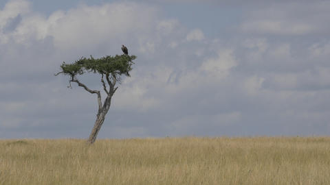 Vulture sitting on a solitary tree in Africa Footage