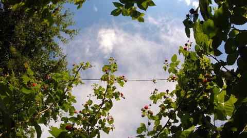 Blue Sky Time Lapse Through The Berries Bush stock footage